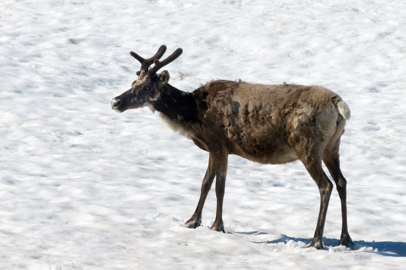 caribou species profile alaska department of fish and game